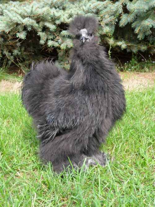 Black Bearded Silkie ( Poultry )