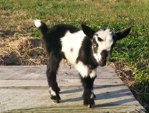 For Sale: Nigerian Dwarf Blue-eyes Doeling ( Goats )