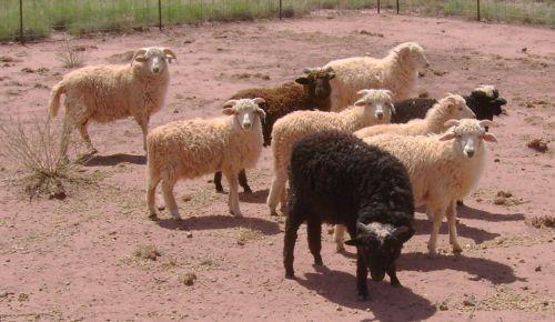 Navajo-churro Sheep For Sale ( Sheep )