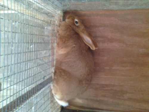 New Zealand Red  Rabbits ( Rabbits )
