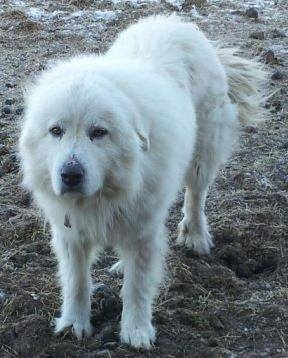 5 Year Old Male Great Pyrenees ( Dogs )