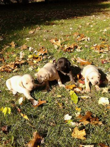 Black Mouth / Mountain Cur Puppy For Sale ( Dogs )