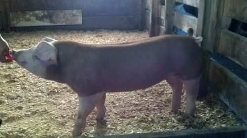 Registered Hereford Pigs ( Hogs )