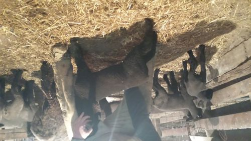 4h Wether And Ewe Lambs For Sale ( Sheep )