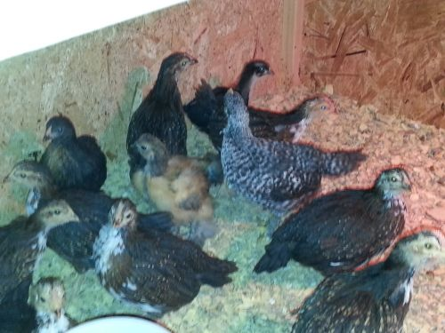 Cheapest Chicks In Ohio..all 6 Week Old Are Sold ( Poultry )