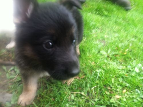 8 Wk Old German Shepherd Male ( Dogs )