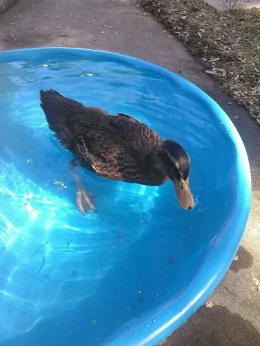 Free 7wk Old Rouen Female Duck 6/7/14 ( Poultry )