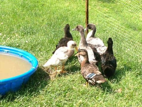 Ducks For Sale ( Poultry )