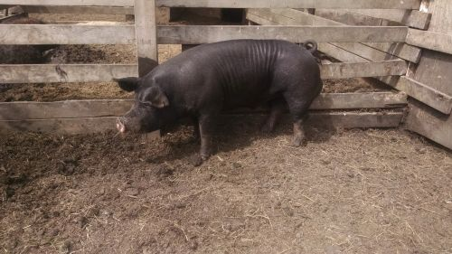 Berkshire Boar *registered* ( Hogs )