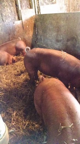 Purebred Duroc And Hamp Breeding Stock ( Hogs )