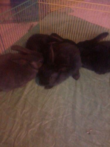 Flemmish Giants For Sale ( Rabbits )