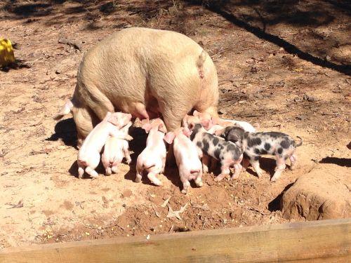 Feeder Pigs ( Hogs )