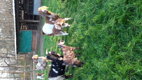 Abga Registered Boer Goat Herd ( Goats )