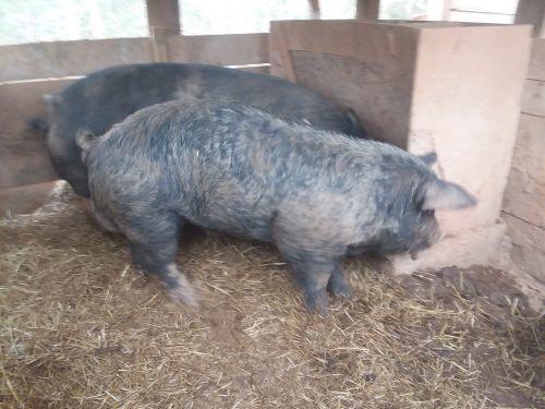 9 Month Old Boar ( Hogs )