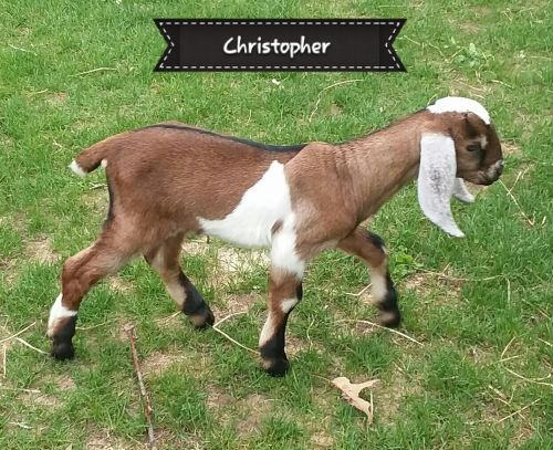 Purebred Registered Nubian Goat Kids Excellent Milk And Show Quality