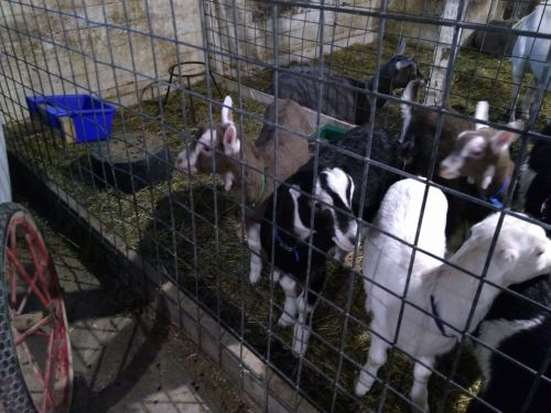 5 Dairy Goat Bucklings ( Goats )