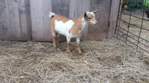 Nigerian Dwarf Buck ( Goats )