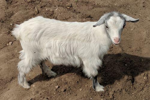 Registered Mini Silky Doelings For Sale. ( Goats )
