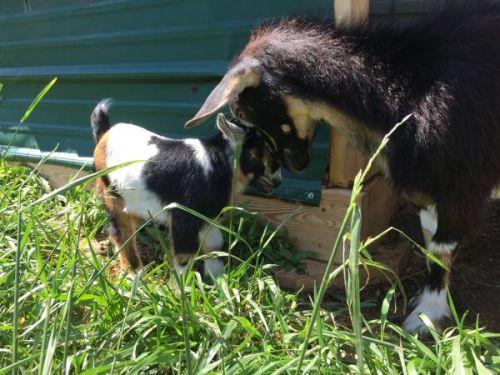 Ags Registered Nigerian Dwarf Herd. ( Goats )