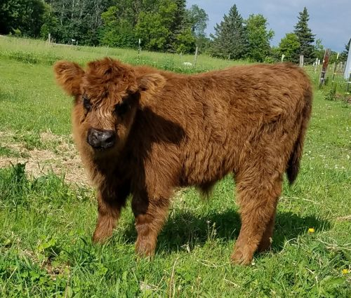 Miniature Highland Cows ( Cattle )