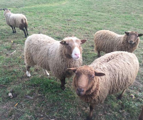 Shetland Sheep, The Breed That Has It All ( Sheep )