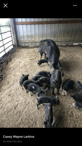 Berkshire Feeder Pigs ( Hogs )