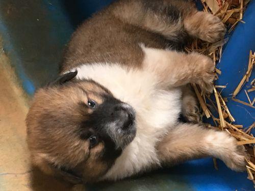 Heeler/ Australian Shepherd Pups ( Dogs )